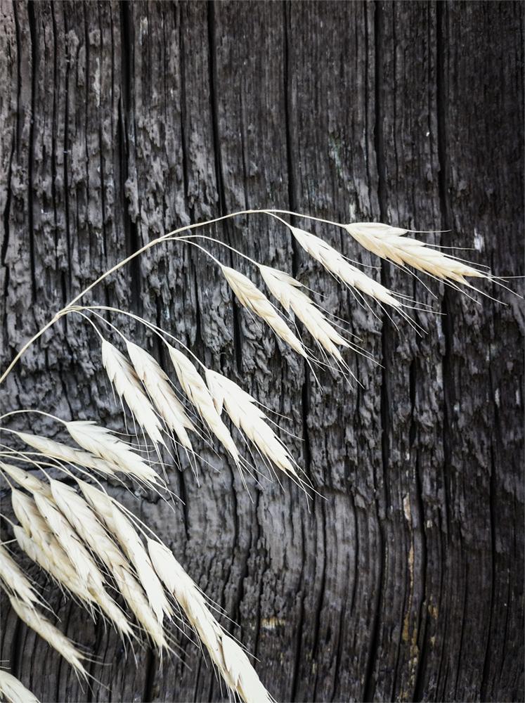 Gertz Wheat